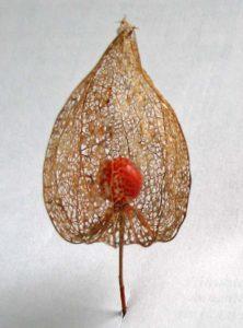 Skelet van de vruchtbekleding van de lampionplant, zie de column van mei.